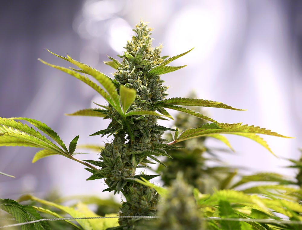 Tahoe OG Cannabis Strain Review