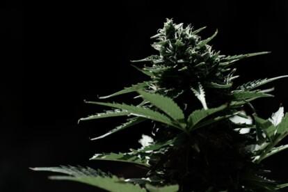 Black Russian Cannabis Strain