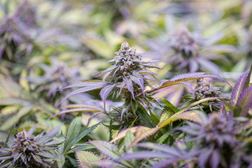Blackberry Cannabis Strain