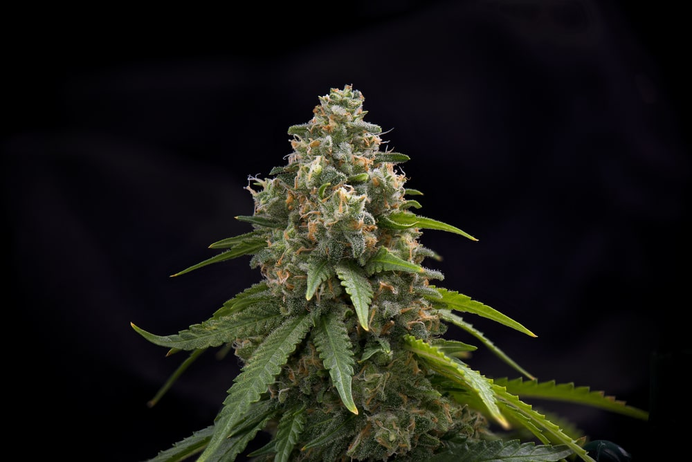 Blackwater Cannabis Strain