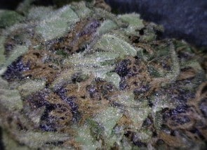 Blue Magoo Cannabis flower close up