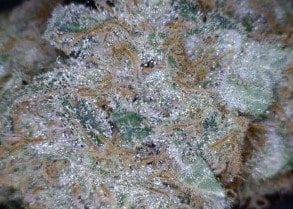 Cherry Cookies Cannabis flower close up