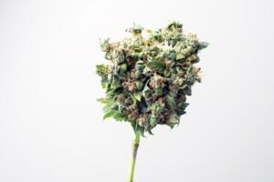Cookies Kush Cannabis bud