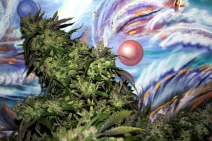 Flo Cannabis Strain