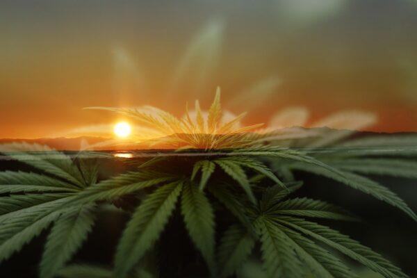 Grape God Cannabis Strain Review