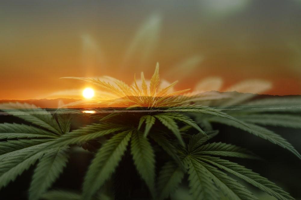 Grape God Cannabis Strain