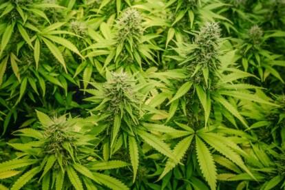 Grapefruit Cannabis Strain