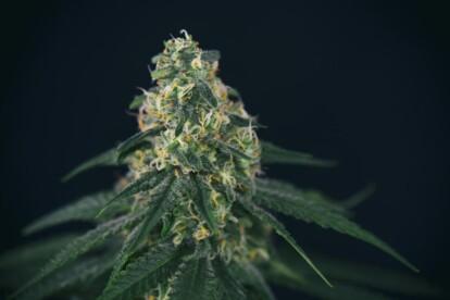Green Crack Cannabis Strain