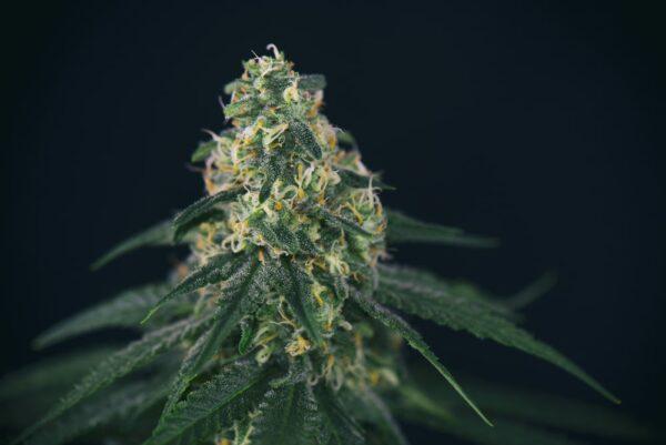 Green Crack Cannabis Strain Review