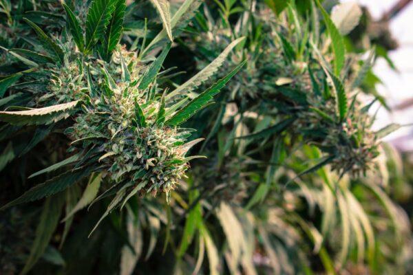 Kosher Kush Cannabis Strain Review