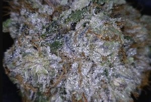 Mendo Breath Cannabis flower close up