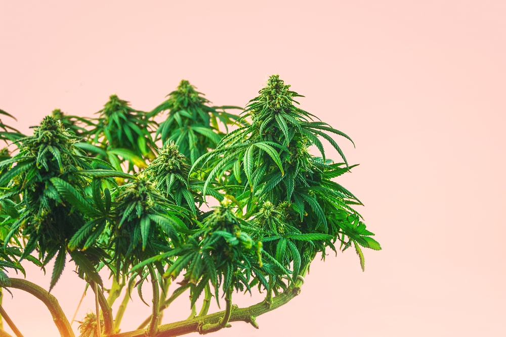 Pink Lemonade Cannabis Strain