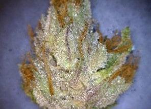 Pre-98 Bubba Kush Cannabis flower close up