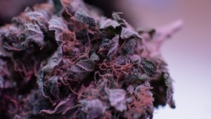 Purple Haze Cannabis bud