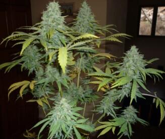 Sour Apple Cannabis Strain