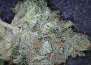 Stardawg Cannabis flower close up