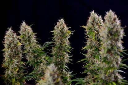 Strawberry Diesel Cannabis Strain