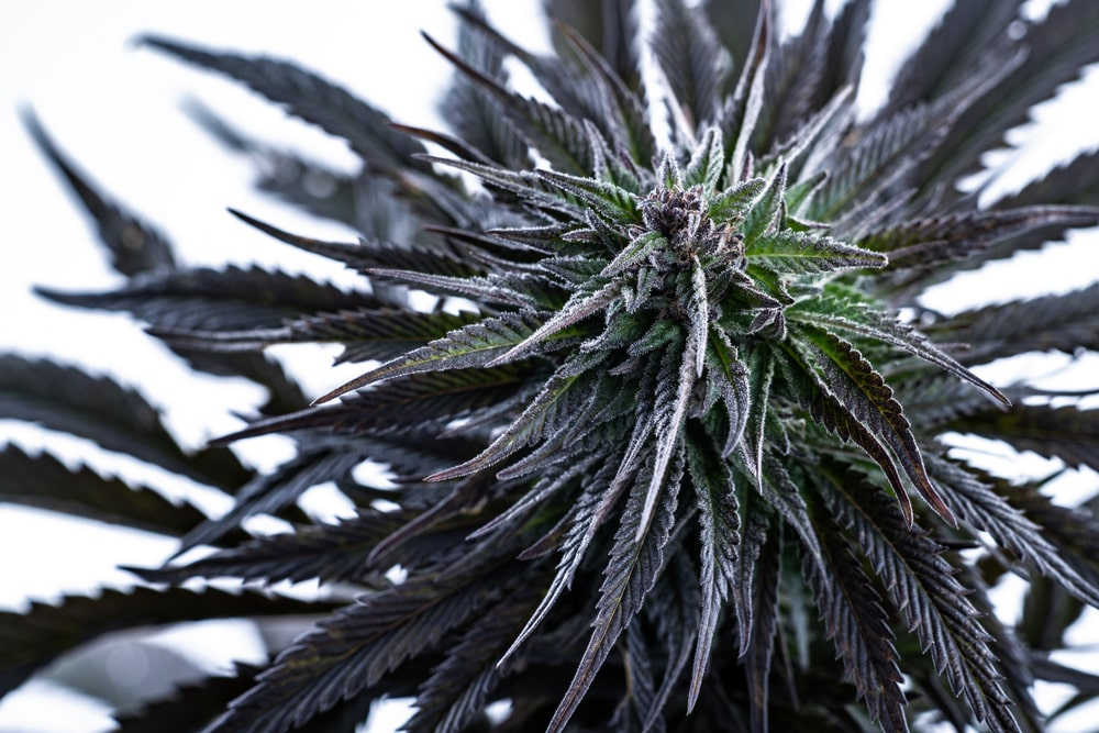 Tangerine Dream Cannabis Strain