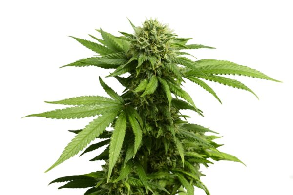 Wookies Cannabis Strain Review
